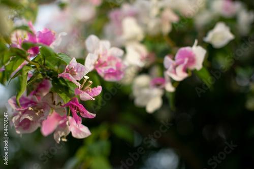 Photo closeup shot of bougainvillaea flowercloseup shot of bougainvillaea flower with