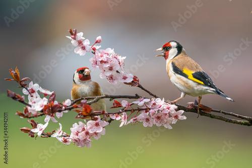 Valokuvatapetti Goldfinch, Carduelis carduelis, two birds in bloom