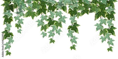 Stampa su Tela Common ivy vine on white background vector illustration