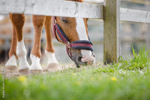 Fényképezés closeup portrait of young chestnut budyonny gelding horse  with white line on fa