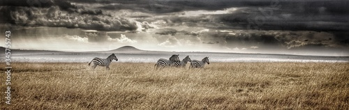 Fotografia Panoramic View Of Zebras On Field Against Cloudy Sky