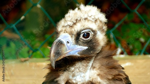 Photo Close-up Of Vulture