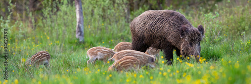 Obraz na płótnie Enchanting herd of wild boar, sus scrofa, feeding on meadow in spring nature