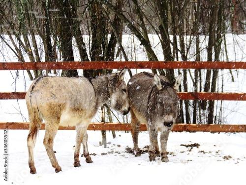 Valokuvatapetti Donkeys Standing On Field During Winter
