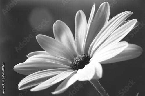 Fényképezés Close-up Of White Daisy Flower