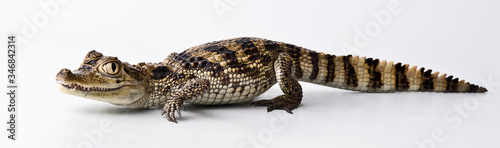 Photo young crocodile on a white background