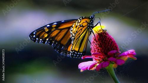 Obraz na plátně Close-up Of Butterfly Pollinating On Flower