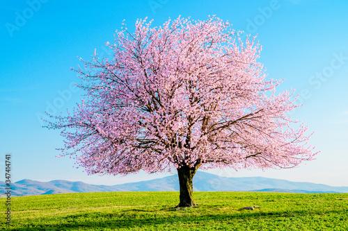 Valokuvatapetti Blooming sakura tree