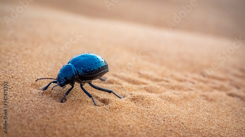 Fotografering Dung Beetle crawling the dunes in Erg Chebbi