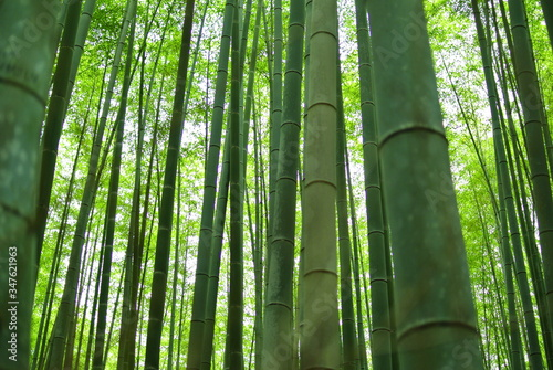 Tela Low Angle View Of Bamboos Growing In Forest