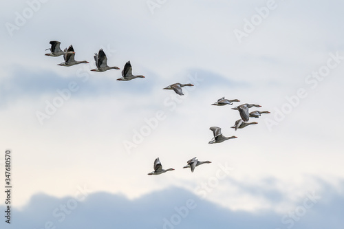 Valokuva Migrating Geese flying in V formation