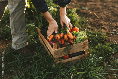 Fototapete Close-up of woman packing wooden box with freshly picked vegetebles on field