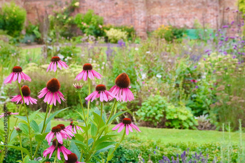 Leinwand Poster Echinacea flowers in English country garden with wall in background