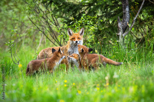 Fotografie, Obraz Female of red fox, vulpes vulpes, showing its tongue while taking care of cubs