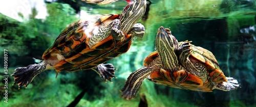 Fotografie, Obraz Turtles In Fish Tank