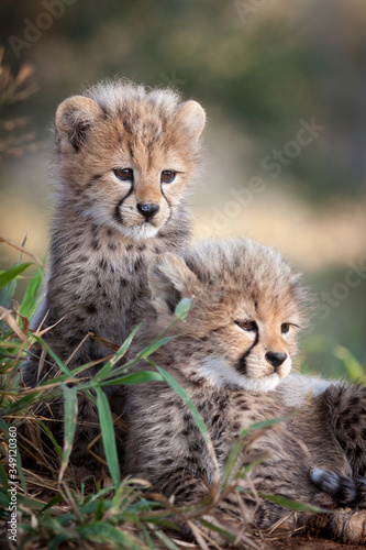 Fotografia, Obraz Two young African Cheetah cubs South Africa