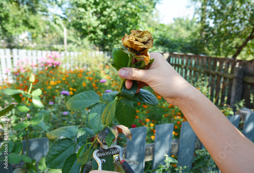 Canvas Print A gardener is deadheading, pruning, cutting off dead rose blooms, removing faded flowers to encourage further blooms on the flowerbed in summer