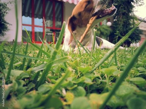 Photo Dog Playing At Backyard