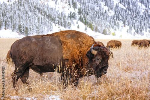 Fototapeta Male bison standing in a field during fall, Grand Teton National Park, Wyoming