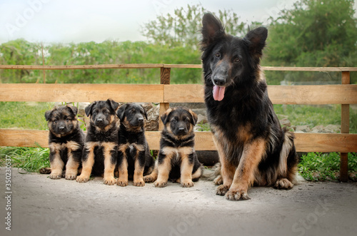 Canvas Print German shepherd puppies with their mother cute family photo of dogs beautiful po