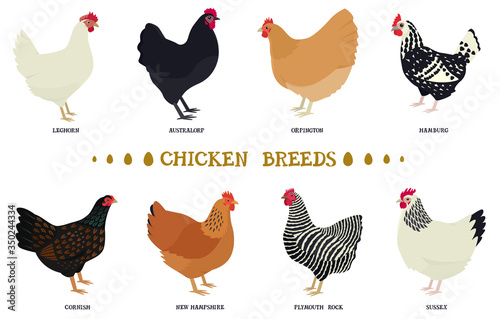 Carta da parati Set of eight breeds of domestic chicken Flat vector illustration Poultry farming