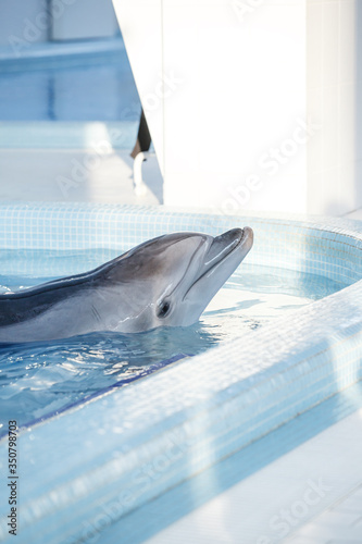 Beautiful dolphin swims in the stylish pool in blue water, geometry calmness, peaceful