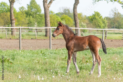 Fotografia Little just born brown foal standing in green grass during the day with a countryside landscape