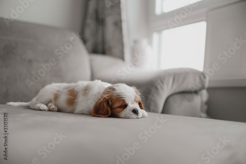 Fotografering cavalier king charles spaniel puppy sleeping on a bed indoors