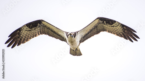 Valokuva Osprey in flight getting a meal on the nest and in dogfight