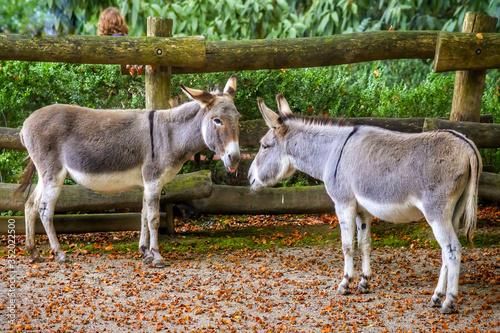 Fotografia Donkeys Standing On Field