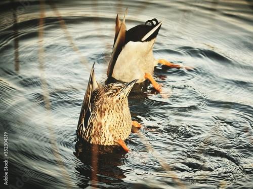Billede på lærred View Of Ducks In Water