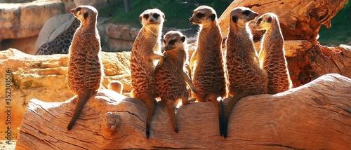 Canvas Print Group Of Meerkats