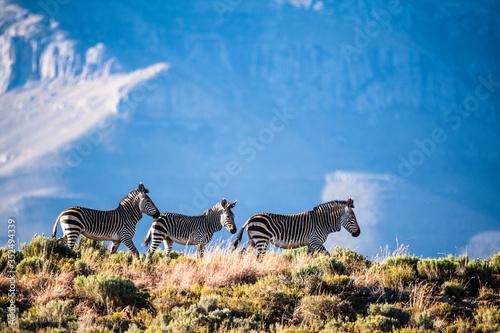 Fototapeta Cape Mountain Zebra's in the arid Great Karoo