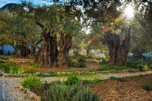 Valokuvatapetti Olive trees in the biblical Garden of Gethsemane, where Jesus prayed before his