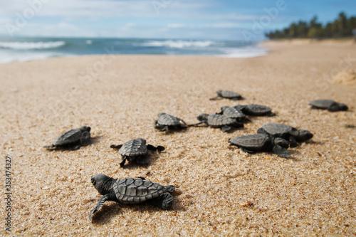 Valokuva Hatchling baby hawksbill sea turtle (Eretmochelys imbricata) crawling to the sea