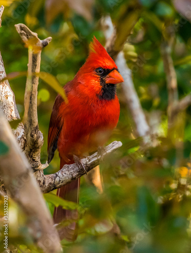 Murais de parede northern red cardinal in tree
