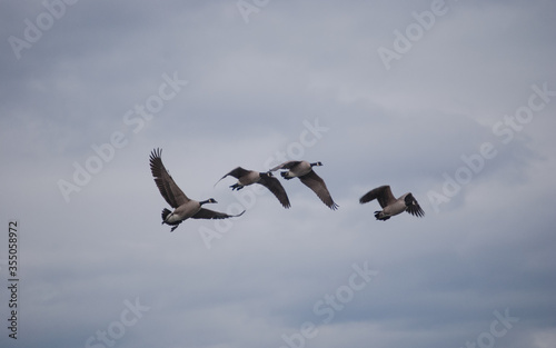 Fotografia Gaggle of Canadian Geese Migrating Dream-Like Background
