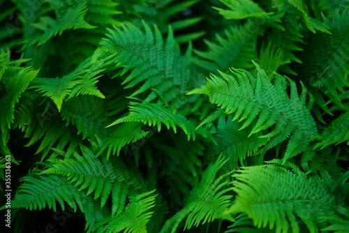 Fototapeta premium Zielone liście paproci w lesie