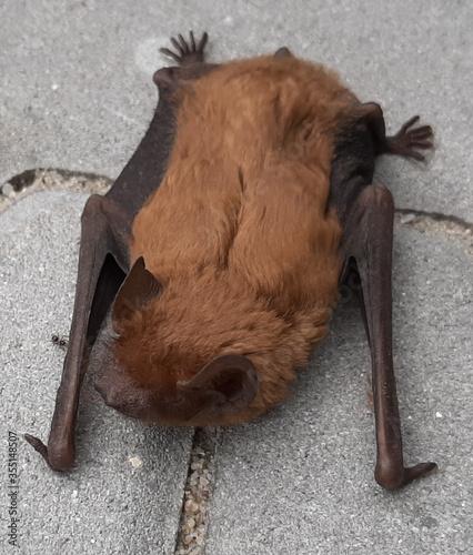 zwierzeta przyroda nietoperz netopir