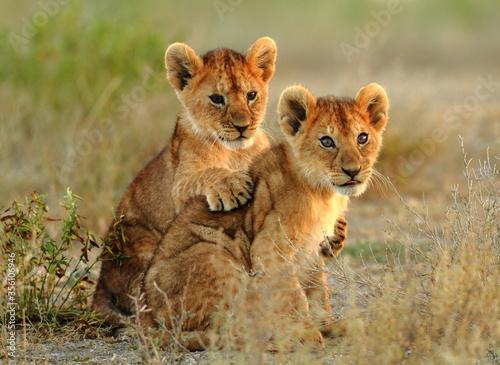 Fototapeta lion cub in the savannah