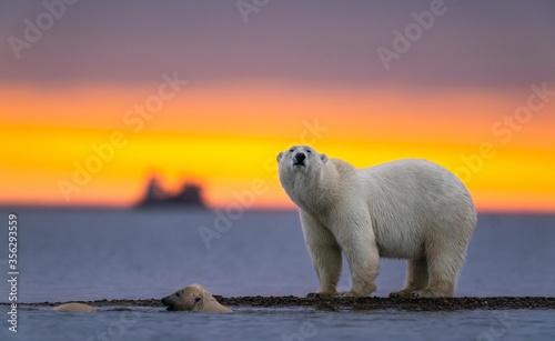 Fotografiet Selective focus shot of a polar bear at sunset
