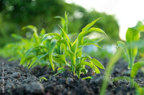 Fototapeta Close-up young corn sprouts under sunshine on organic farm field