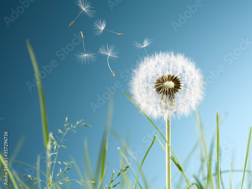 Close up of dandelion plant blowing in wind