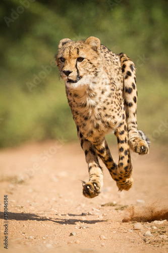 Obraz na płótnie One adult cheetah chase with all legs off the ground in Kruger Park South Africa