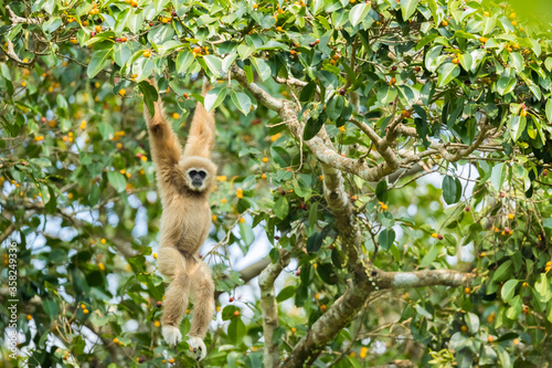 Canvas-taulu Picture cute of white-handed gibbon in the rainforest, Thailand