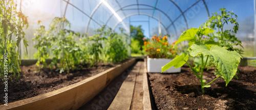 Obraz na płótnie tomato seedlings growing in the soil at greenhouse