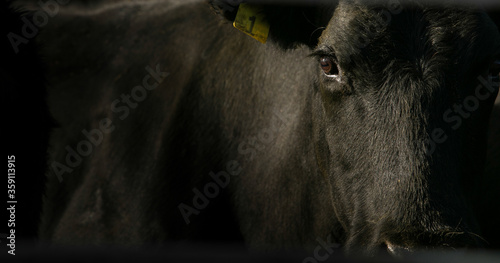 Close up of black cow on cattle ranch Fototapet