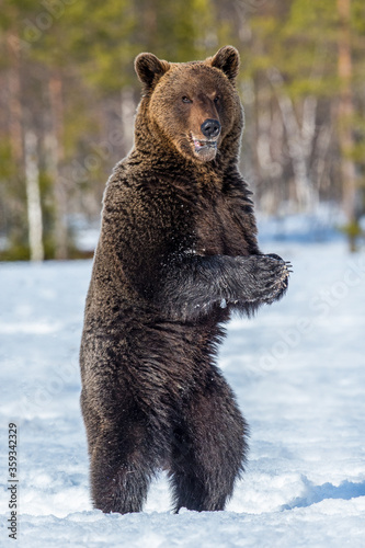 Fotografia, Obraz Brown bear with open mouth standing on his hind legs on the snow in winter forest