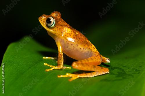 Fotografia An orange little frog on a green leaf in Madagascar