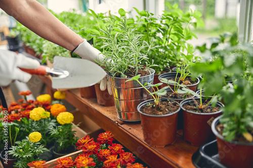 Fototapeta Professional horticulturist replanting the seedlings in a nursery